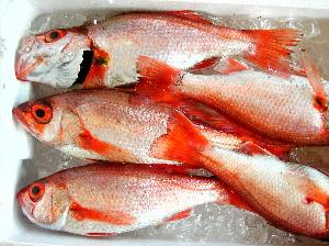 ■佐渡沖の深海魚のどぐろ (11月26日撮影)